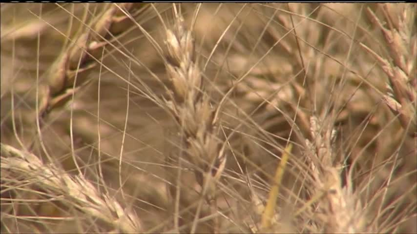 Kansas Wheat Harvest_59756300-159532