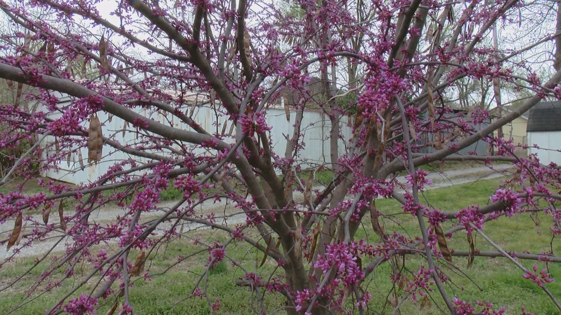 Different Things You Can Use A Redbud Tree For Ksnf Kode